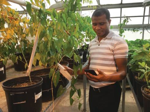 MSU graduate student Eric Owusu Danquah using PhotosynQ technology in an MSU greenhouse.